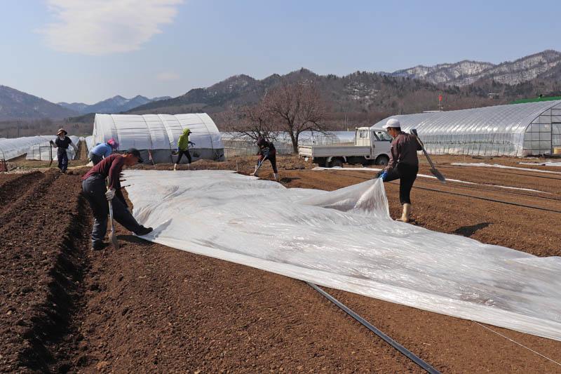 メロン畑にマルチを敷く作業
