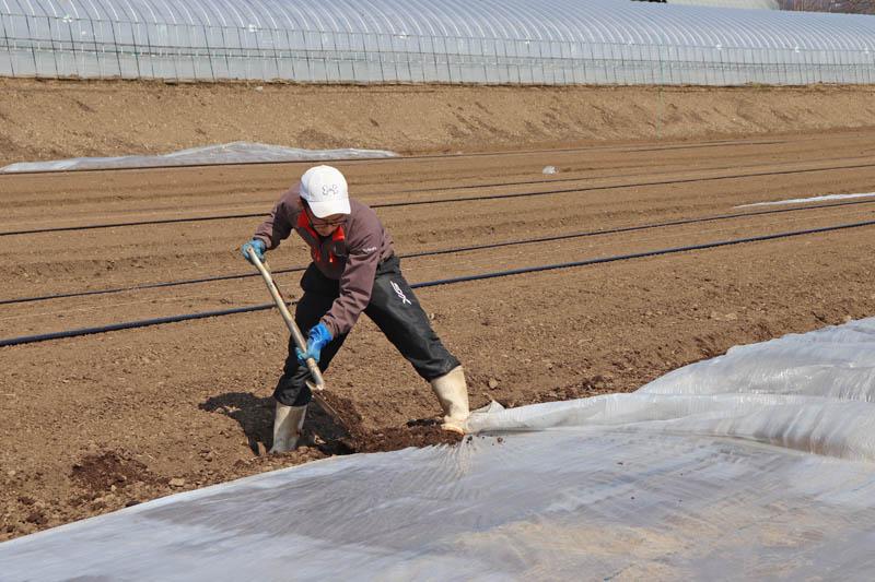 マルチに土をかけて固定します。