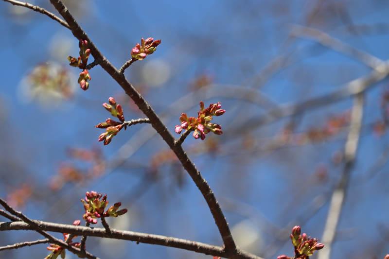 開花直前の桜