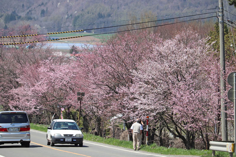 綺麗な桜が咲いている様子