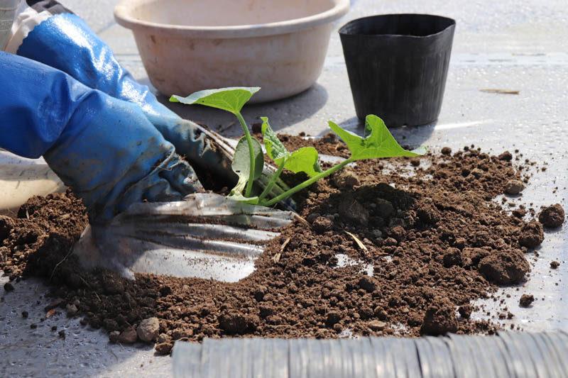 メロンを一株ずつ植えていきます